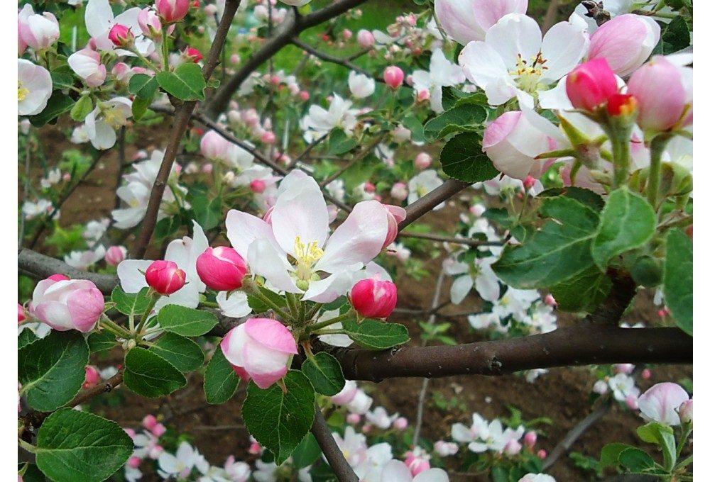 пример ветки яблони