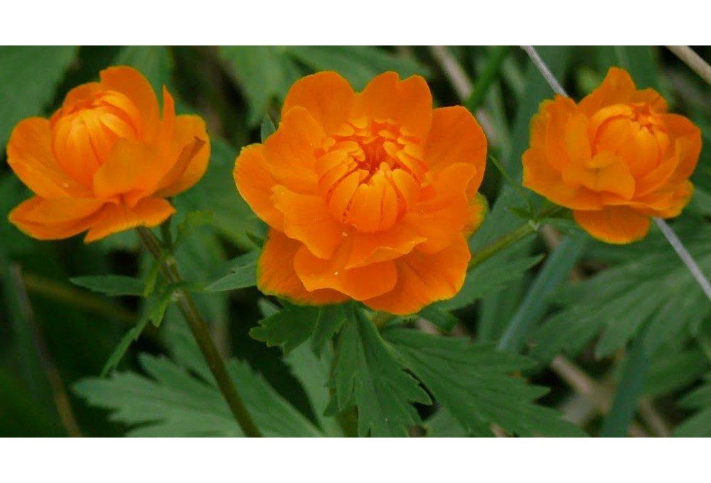 Пример живого цветка купальницы