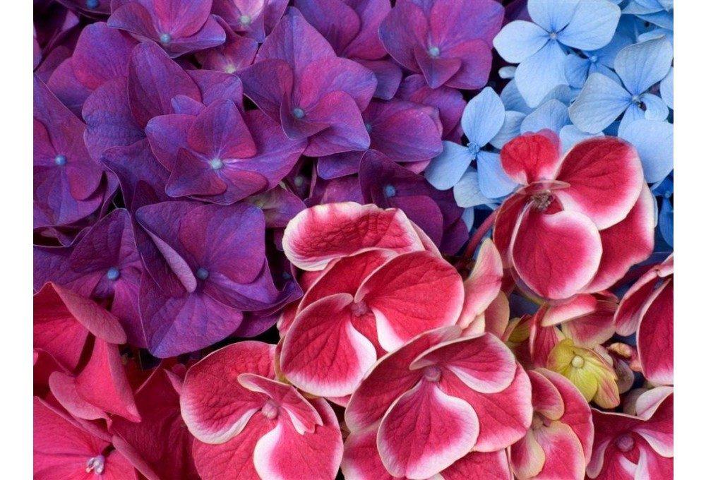 цветы гортензии крупные