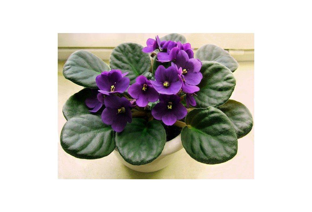 цветок фиалки