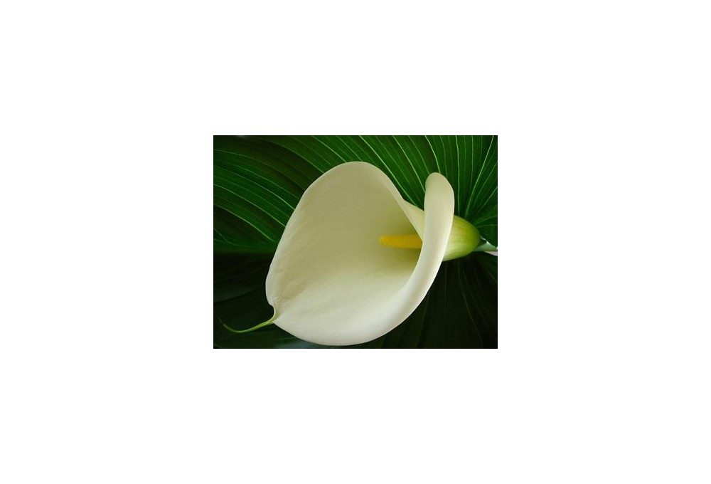 калла цветок