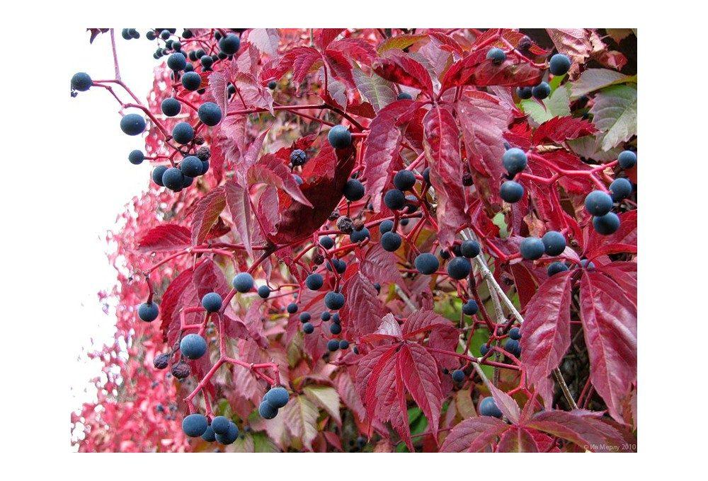 листья девичьего винограда