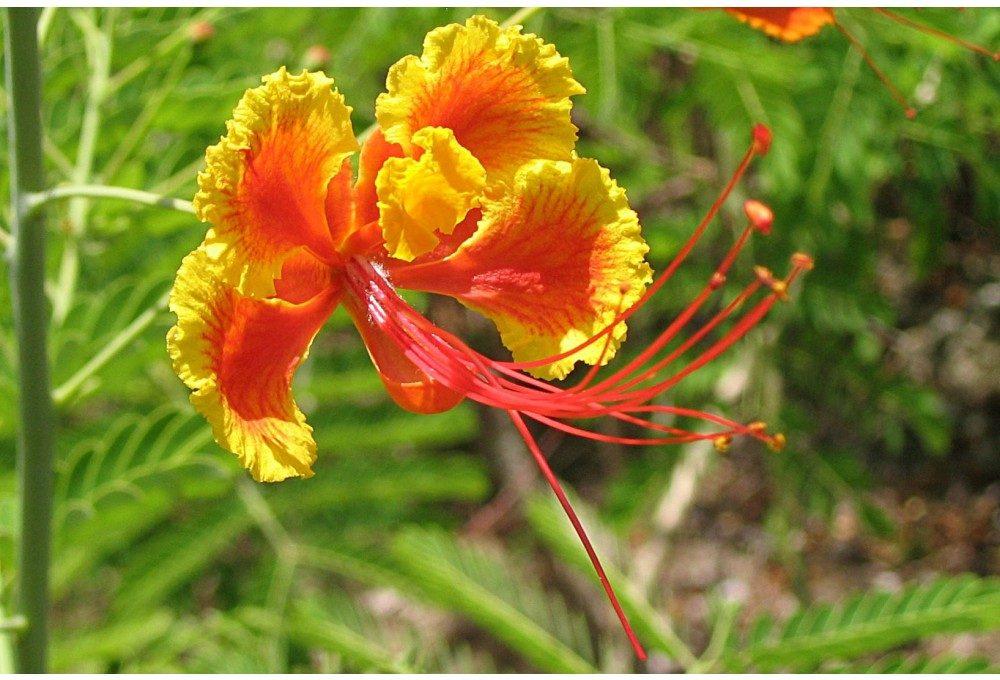 гордость барбадоса цветок
