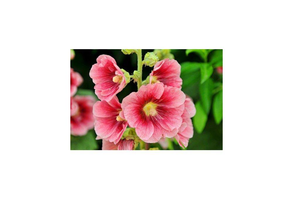 Пример цветов мальвы