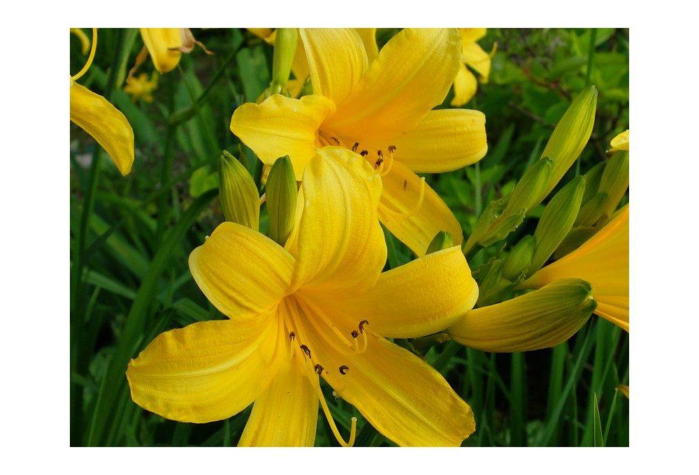 Пример как выглядит желтый лилейник
