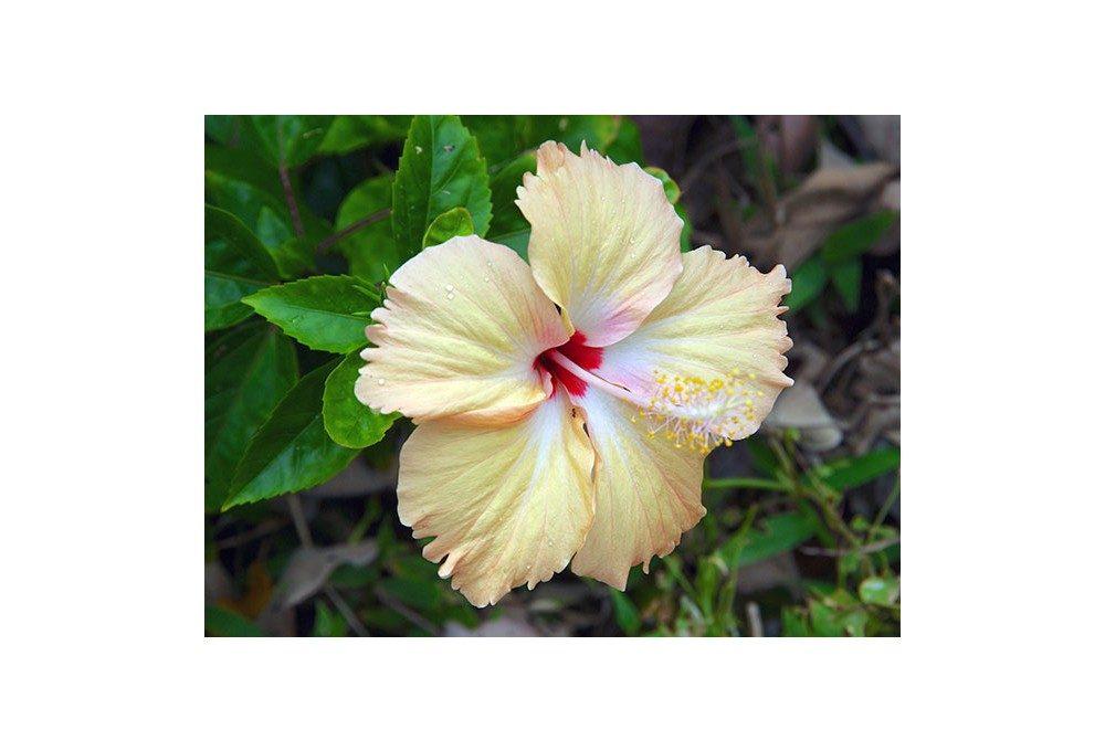 гибискус цветок