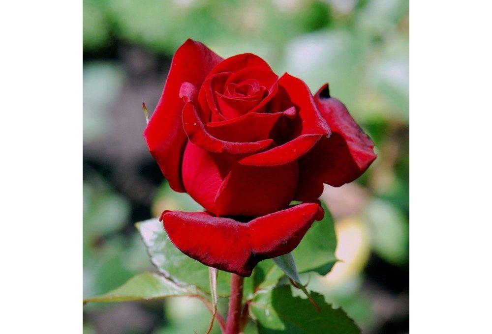 Пример розы
