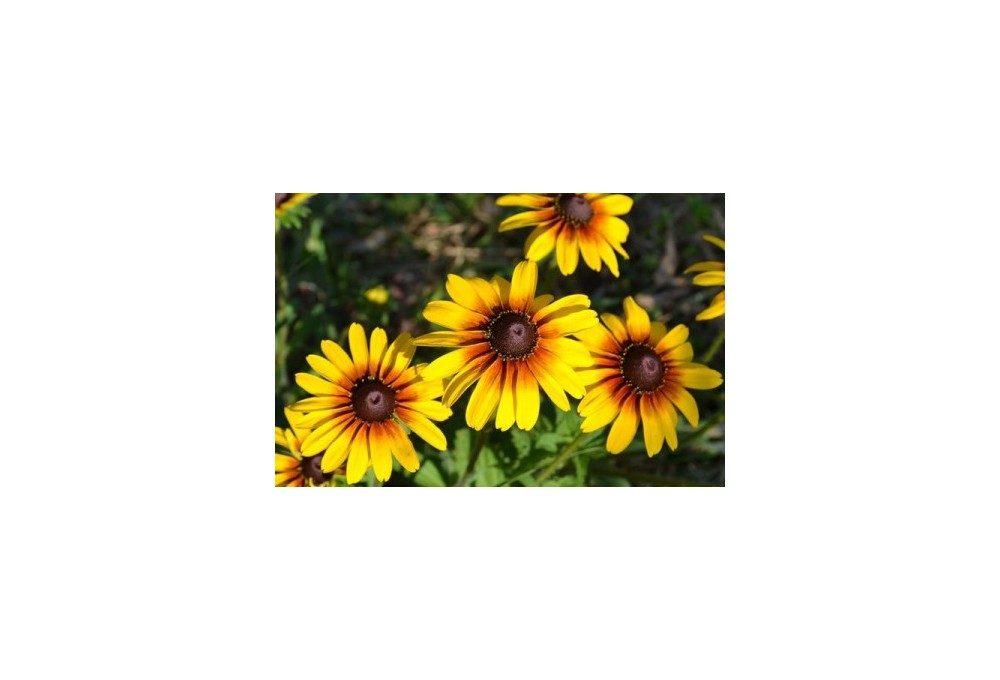 пример цветов рудбекии