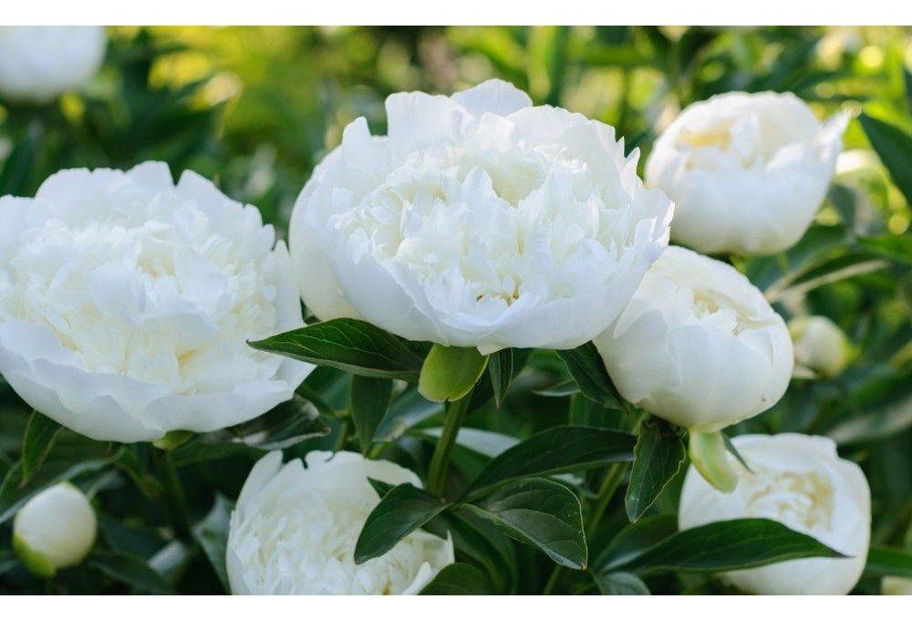 пример цветов пиона