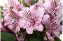 Пример живого цветка альстромерии