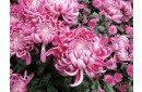 хризантема пример